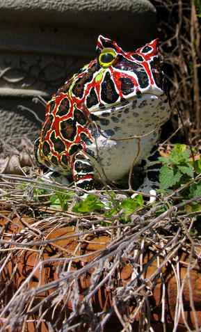 Frog #74 - Pacman Frog