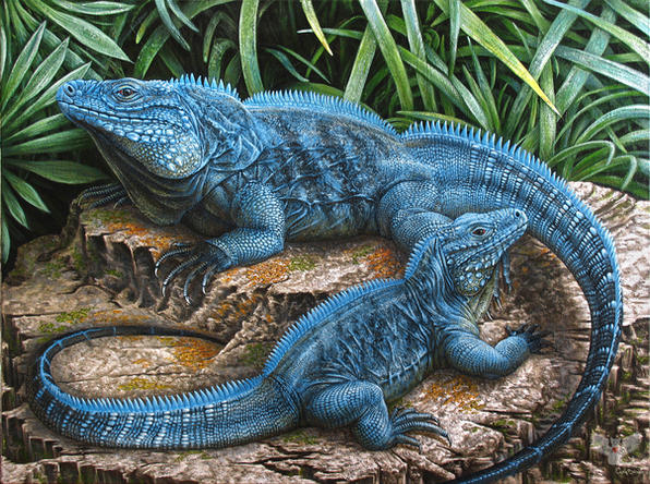 The Grand Cayman Blue Iguanas