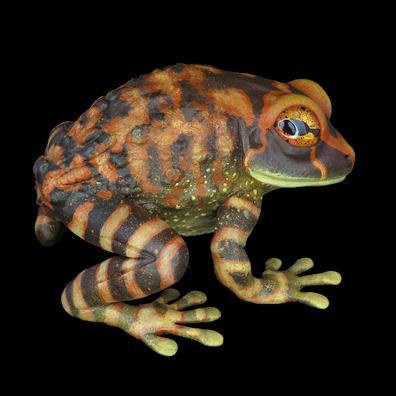 Frog  #156 - Montane Litter Frog