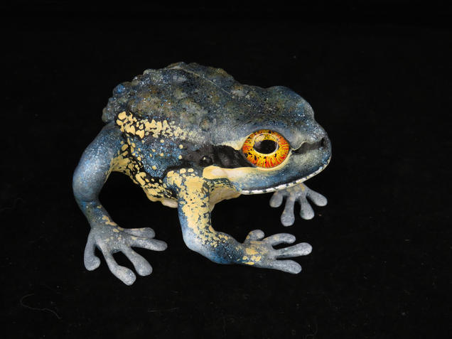 Frog #151 - Banjo Frog