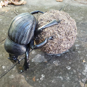 Dung beetle with ball