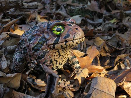 Toad #149 - Karoo Toad