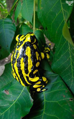Toad #75 - Bumblebee Frog
