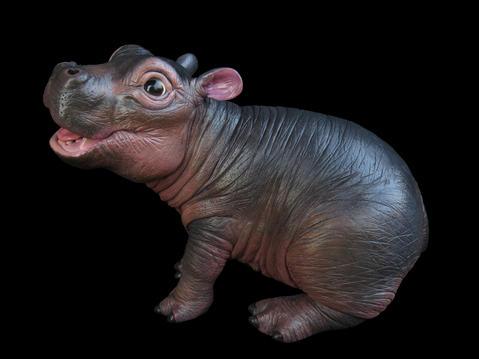 Myn yhe Pygmy Hippo