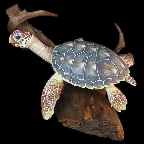 Turtle #HR14 - Loggerhead Sea Turtle