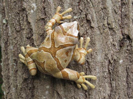 Frog #164 - Spring Peeper
