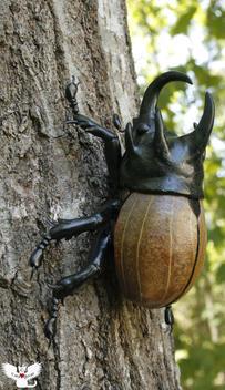 5-horned rhino beetle