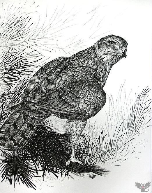 """""""Goshawk Gaze"""" framed ink drawing"""