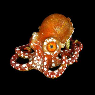 Miniature Octopus #7