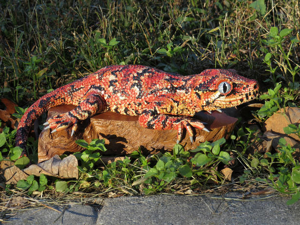 Jormie the Gargoyle Gecko
