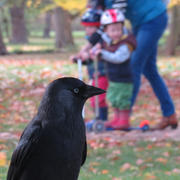 Jackdaw noticed by a kid