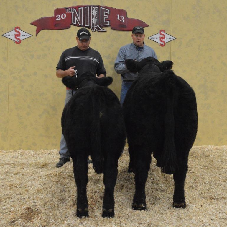 Nile champion pair of bulls comp