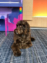 Labradoodle, Sailor, pictured at the Birmingham, Alabama Zarzaur Law Firm office