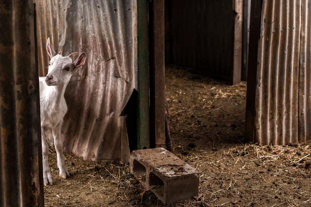 Jannei Goat Farm