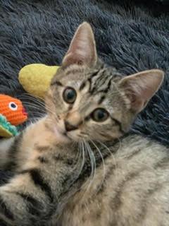 Hazel - Tigerlily