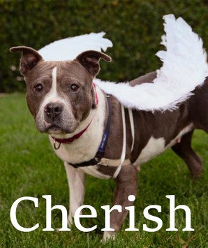 """Cherish is an absolute angel, complete with a halo! This adorable little gal never turns down a moment to """"smize"""" for the camera! She loves that her glam squad at Best Friends Los Angeles acquiesces to her requests for photo shoots, complete with wings of her own a la Victoria's Secret Angel.  Blind and diabetic, the shelter environment is no place for this 5-year-old to thrive. Cherish has spent time in a foster home and settled in quickly. Despite her visual impairment, she acclimates quickly to her surroundings and is a calm, sweet, and curious girl. Cherish is house trained (with easy, regular access to the outdoors) and very easy-going. Cherish loves people and is curious about other dogs. She needs a slow introduction, supervision, and management around other canines. She is a bit awkward and nervous, but desperately wants to be friends - meaning that other dogs need to be understanding and patient with her.  When you adopt Cherish you will also receive a gift from 1-800-PetMeds to welcome her home. If you are interested in meeting Cherish, go to la.bestfriends.org/adopt and fill out our Dog Adoption Survey and our team will reach out to you!"""