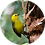 Thumbnail: Yellowhead / Mōhua
