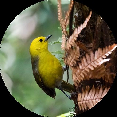Yellowhead / Mōhua