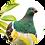Thumbnail: New Zealand Pigeon / Kererū