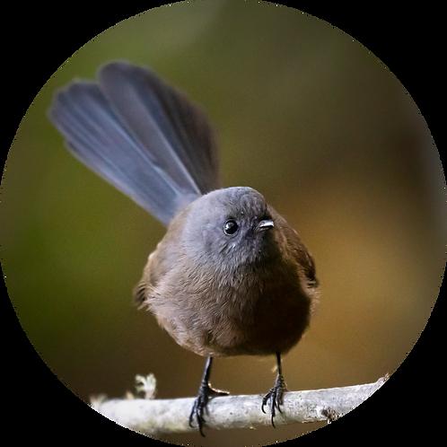 Black Morph Fantail / Pīwakawaka