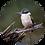 Thumbnail: Kingfisher / Kōtare