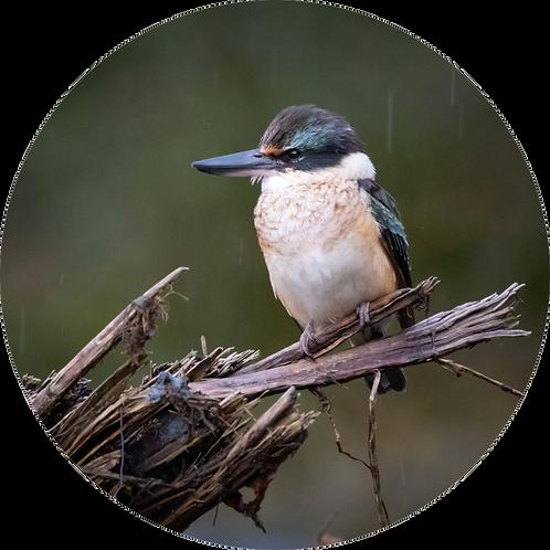 Kingfisher / Kōtare