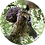Thumbnail: Morepork / Ruru