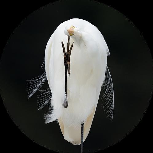 White Heron / Kōtuku
