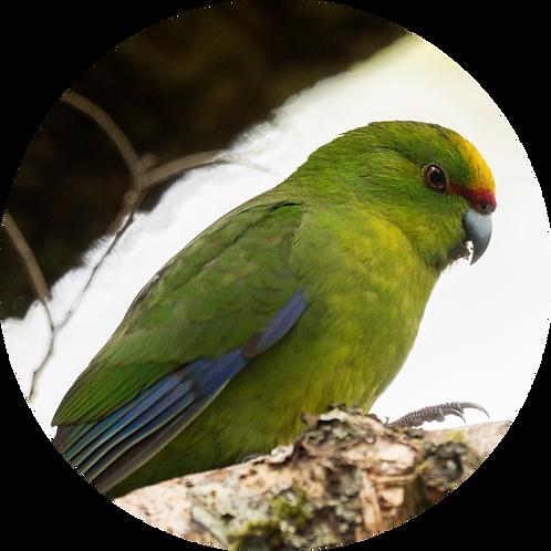 Yellow-Crowned Parakeet / Kākāriki