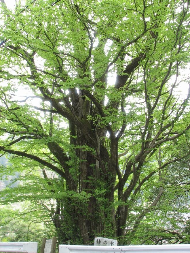 吉槻桂の木2.jpg