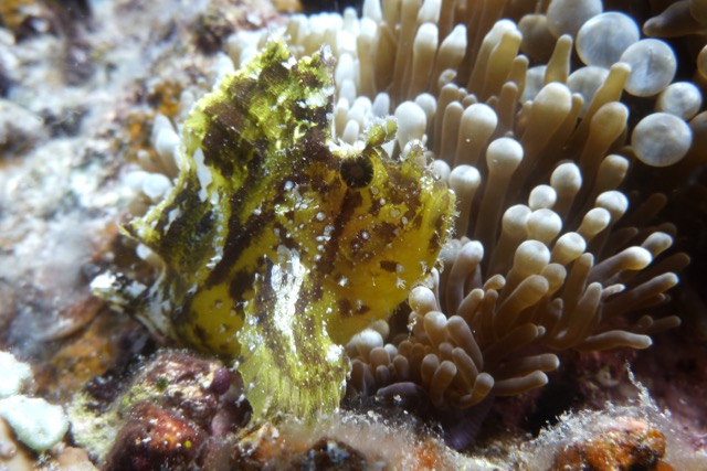 Scorpion Leaf Fish Taveuni