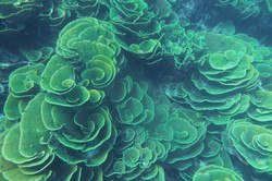 Cabbage Coral 2