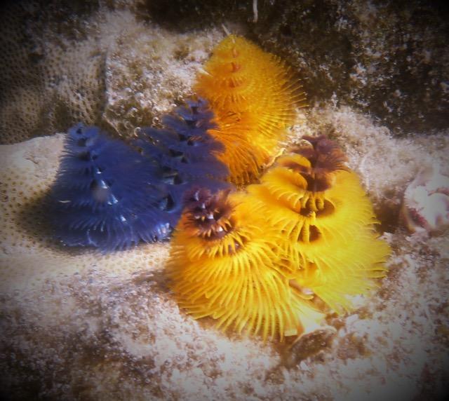 Christmas Jays Reef
