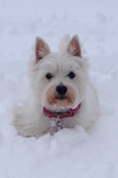 training-client-dog-playing-in-snow