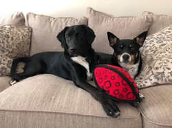 training-client-dogs-laying-on-couch
