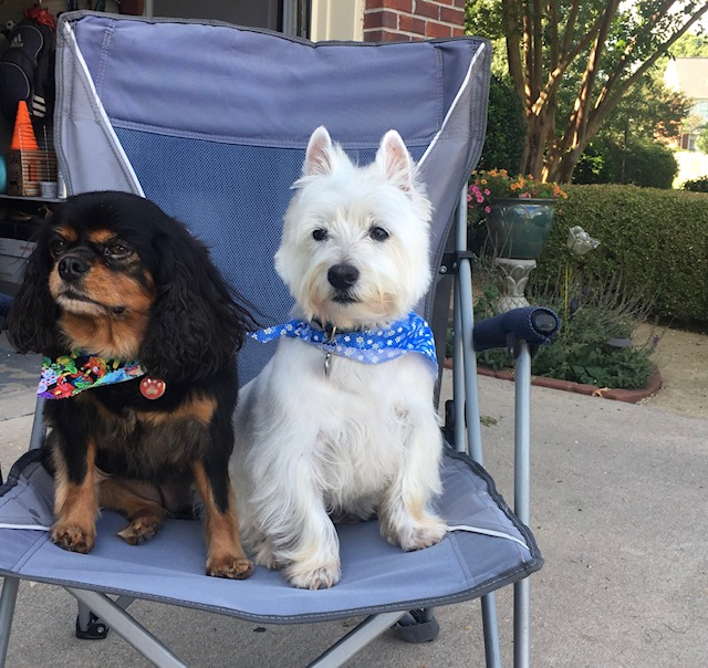 two-dogs-sitting-in-chair