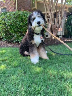 client-dog-sitting-with-stick