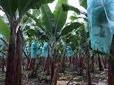 Organic Banana Farming Ecuador.jpg