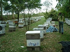 Honeybees in Argentina.jpg