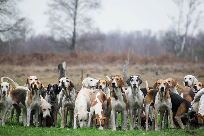 Pack of hunting hounds waiting in line t