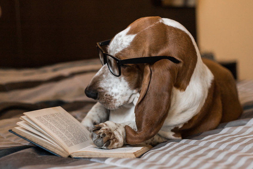 Basset Hound dog brown and white intelli