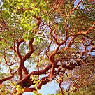 Working and turning Pacific Madrone