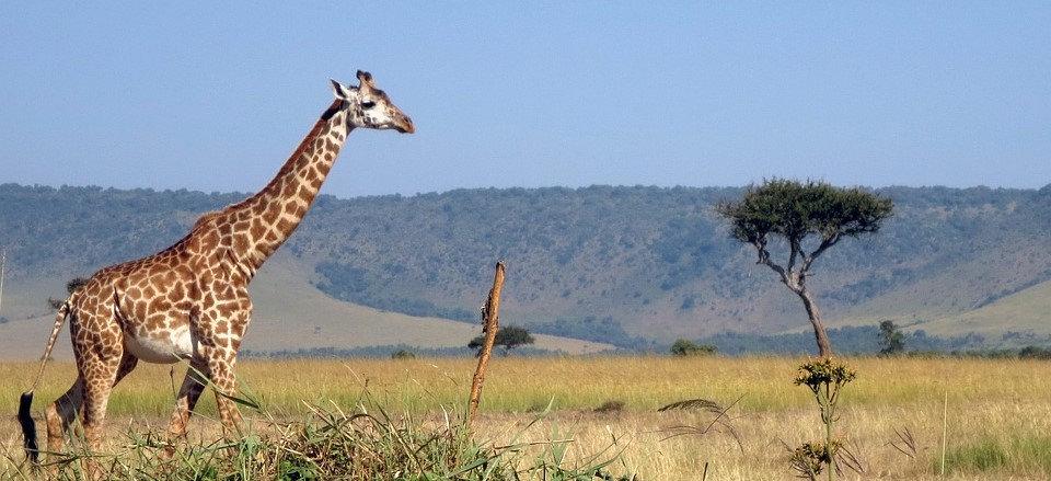 giraffe-2369813_960_720.jpg