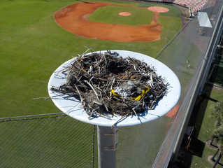 Osprey Nest at the University of Tampa