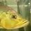 Thumbnail: キクラ モノクルス 約28センチ