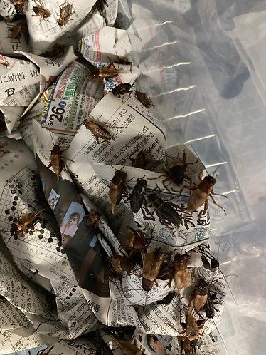 フタホシコオロギ(100匹)