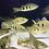 Thumbnail: キクラ モノクルス 18-22センチ