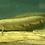Thumbnail: チャンナ・マルリオイデス 約40-45㎝ 下取り魚