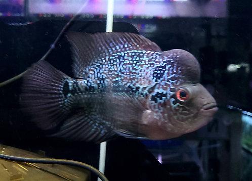 風水魚 フラワーホーン 紅麒麟① 18-19㎝