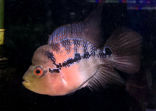 風水魚 フラワーホーン 紅麒麟 ショート 約17㎝